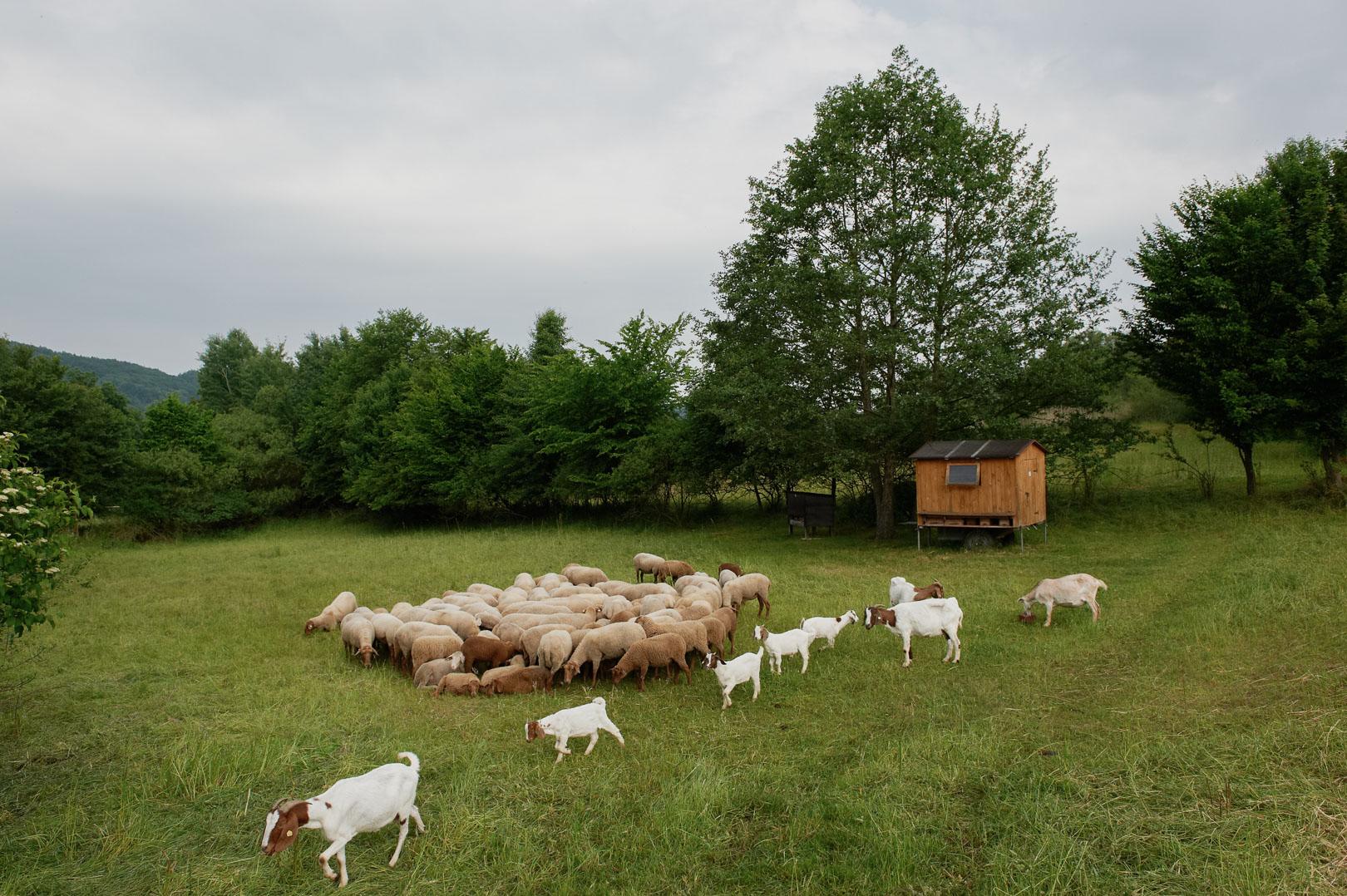 Weide für die Schafe und Ziegen in der Nähe vom Kloster Plankstetten.