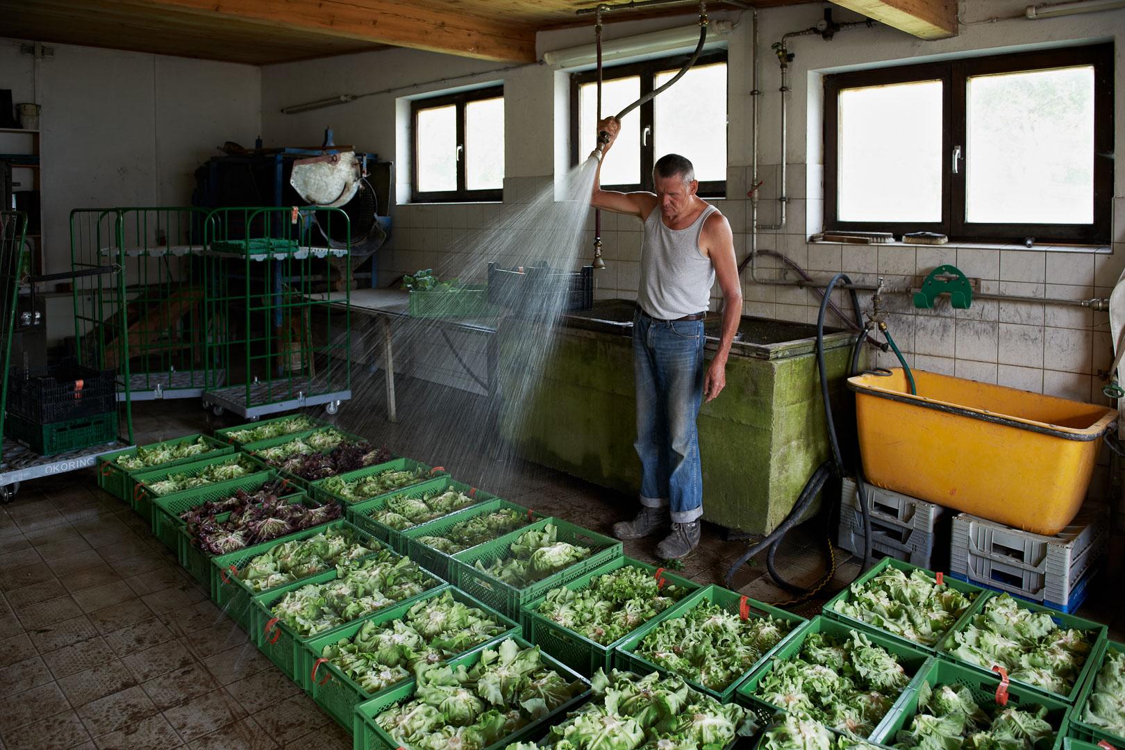 Betz Alfred säubert den frisch geernteten Salat
